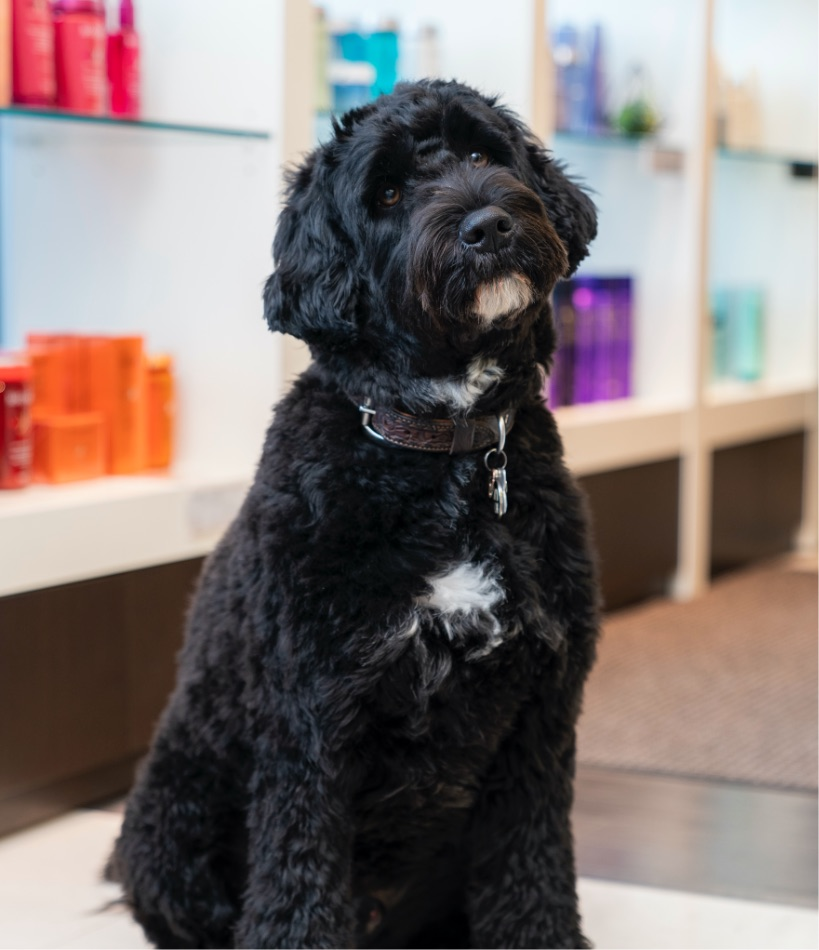 Jack the dog | Salon Pet | Portugese Water Dog